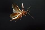 Если она способна летать тараканы? Какие виды тараканов могут летать?