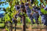 Виноград Голубь: описание сорта, посадка, выращивание и уход. Использование в виноделии и дизайн сада