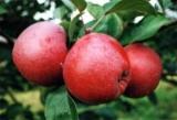 Приготовление яблочный ликер дома