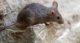 Найкращі засоби від мишей